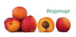 Abricots en vrac de la variété Bergarouge. Un des abricots est coupé en 2, laissant apparaitre son noyau
