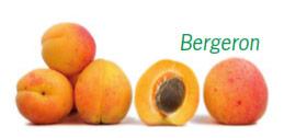 Abricots en vrac de la variété Bergeron. Un des abricots est coupé en 2, laissant apparaitre son noyau