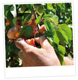 Gros plan sur une branche d'abricotiers chargée d'abricots