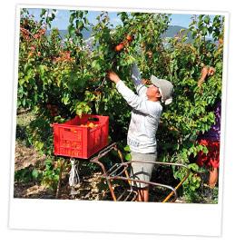 Dans un verger d'abricotiers, un employé cueille à la main des abricots situés à sa hauteur