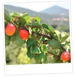 Gros plan sur une branche d'abricotier chargée de fruits. A l'arrière-plan, un paysage méridional, entre garrigue et maquis
