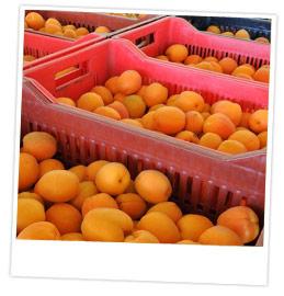 Gros plan sur plusieurs caisses d'abricots venant d'être récoltés
